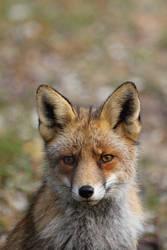 My First Fox Adventure by AngelaLouwe