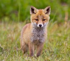 Red Fox Cub by AngelaLouwe
