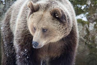 Beautiful Brown Bear by AngelaLouwe