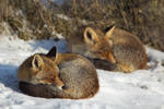 Tired Foxes