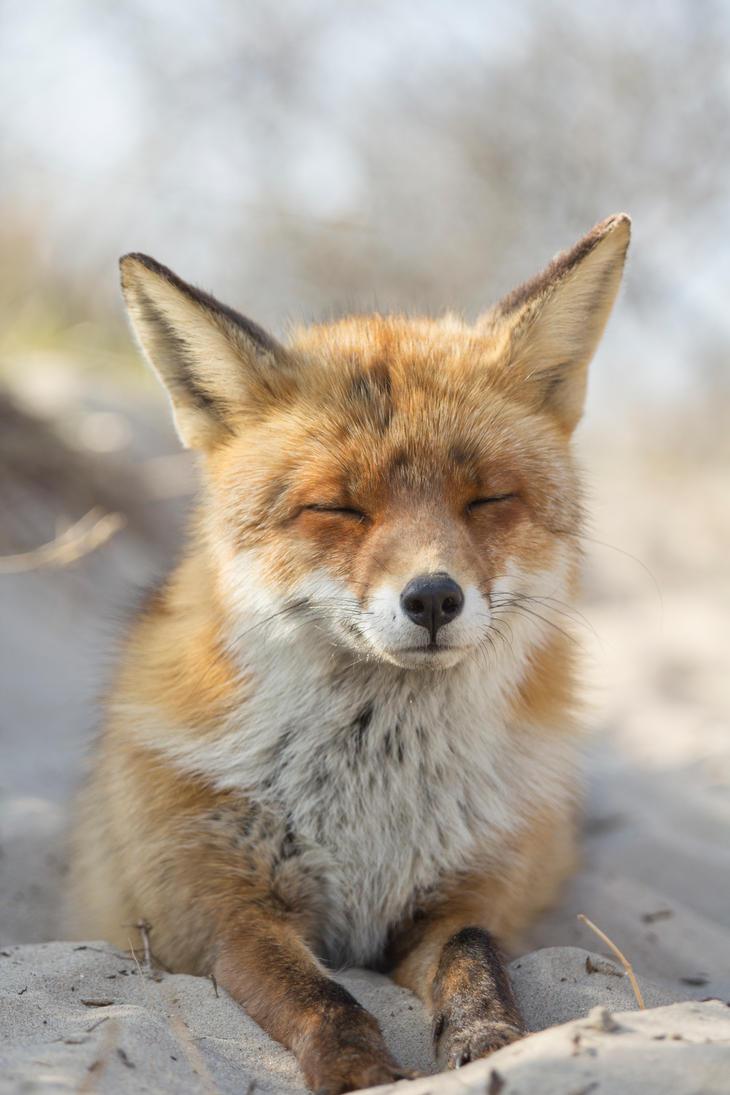 Fox on the Beach by AngelaLouwe