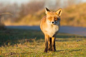 Sunlit Fox by AngelaLouwe