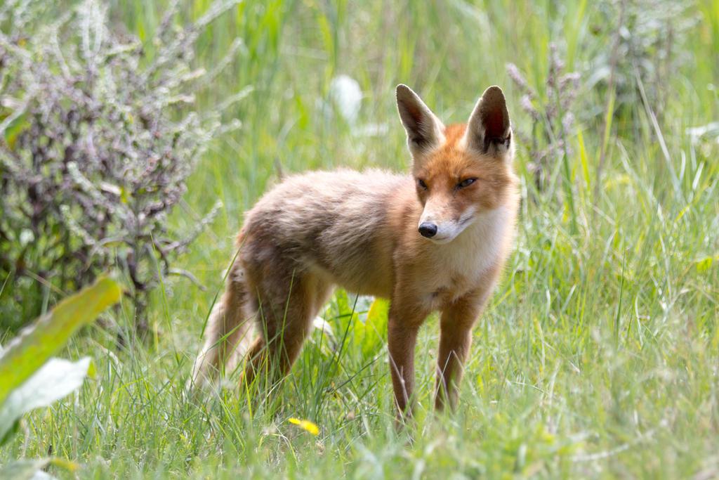 Cute Fox by AngelaLouwe