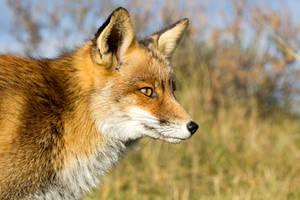 Fox by AngelaLouwe