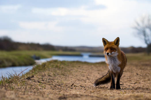 Fox in the landscape