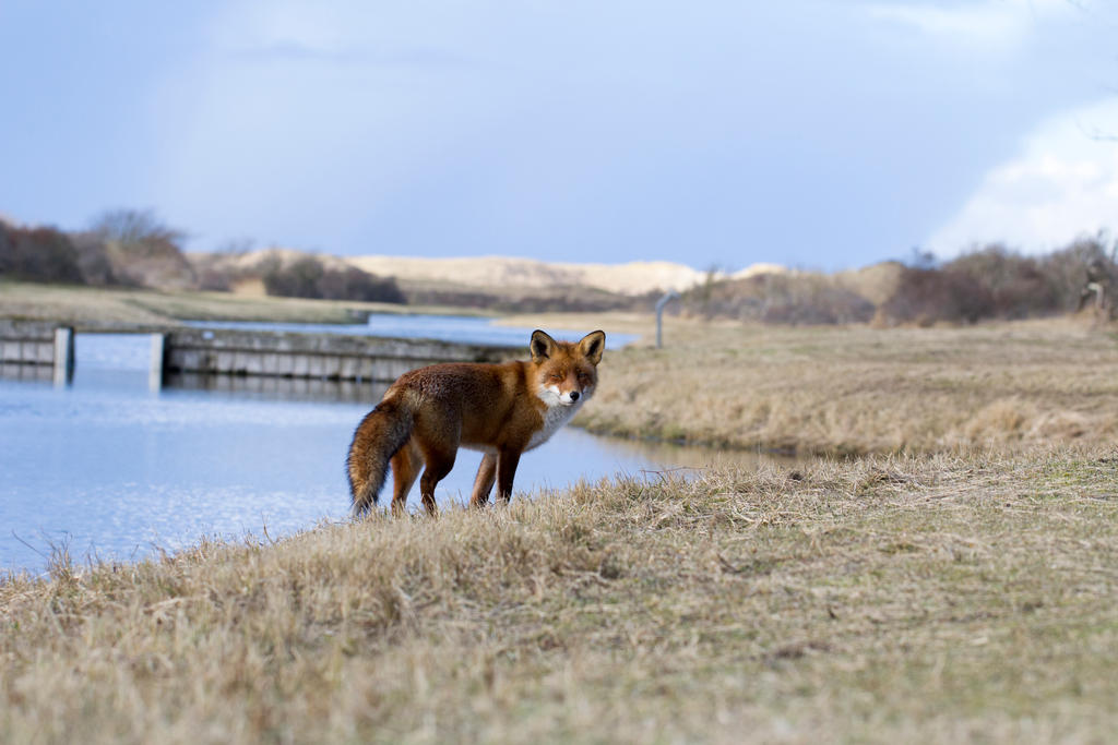 Red Fox by AngelaLouwe