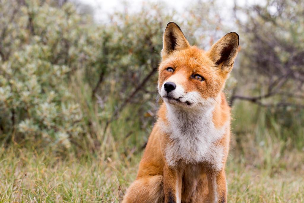 Foxy by AngelaLouwe