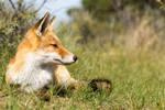 Relaxing Young Fox