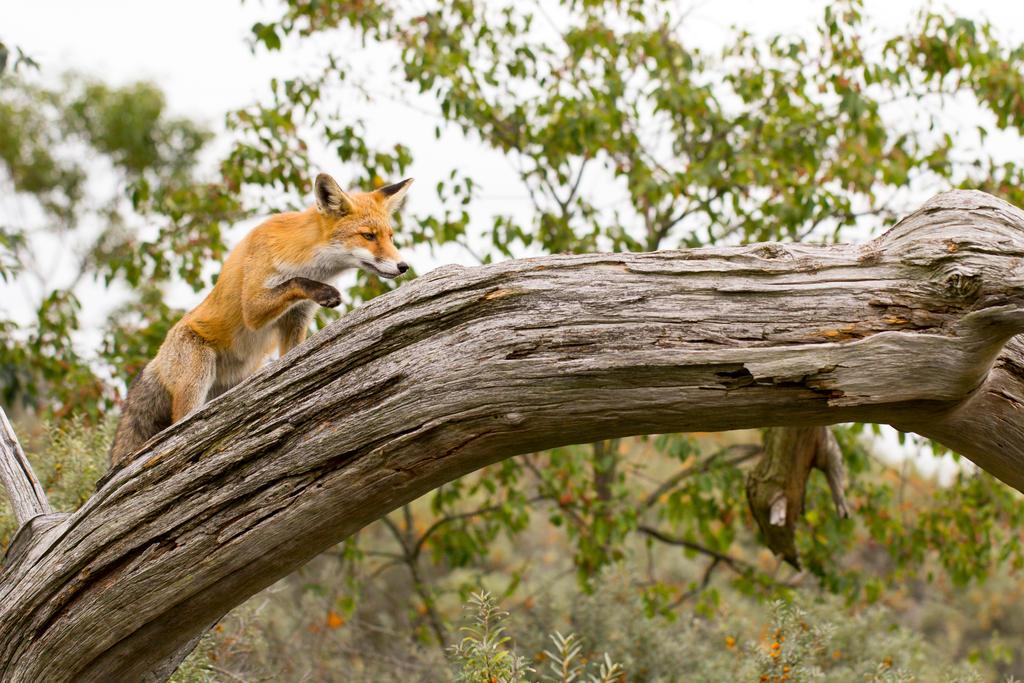 Fox in a Tree by AngelaLouwe