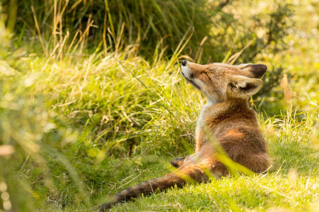 Sunbathing Fox by AngelaLouwe