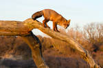 Red Fox on a Tree on a Sunny Day