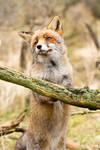 The Cutest Fox Ever