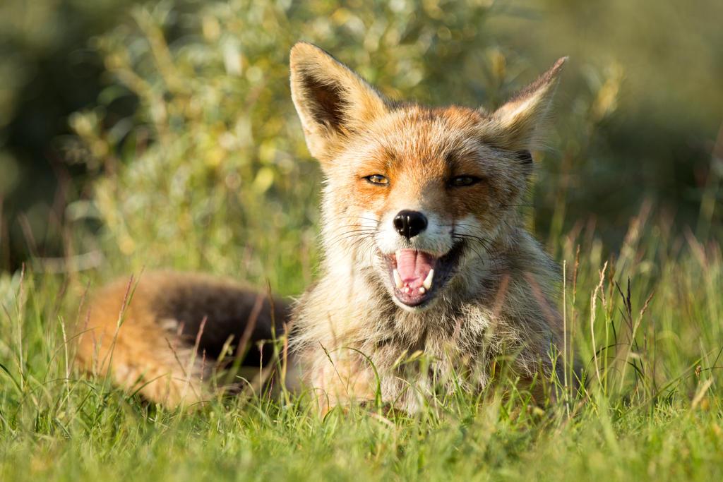 Happy Fox Part II by AngelaLouwe
