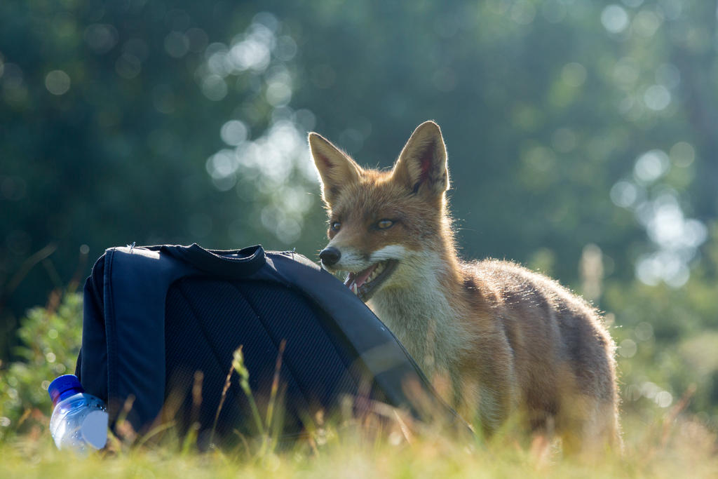 The Fox and His Curiousity for My Backpack by AngelaLouwe