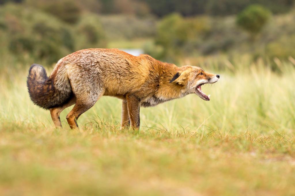 Angry Fox by AngelaLouwe