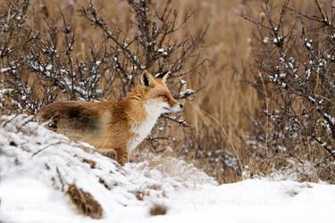 Winter Wonderland Fox by AngelaLouwe
