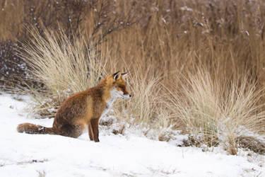 Snowfox by AngelaLouwe