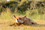 Stretching Fox by AngelaLouwe