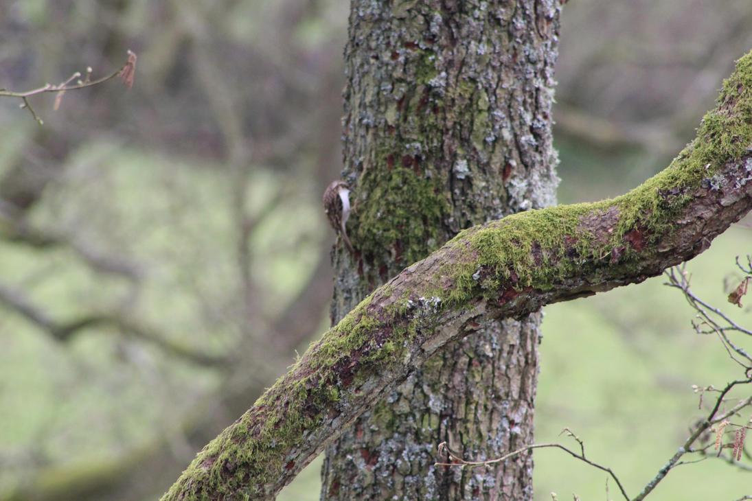 Treecreeper by NeidalRuekk