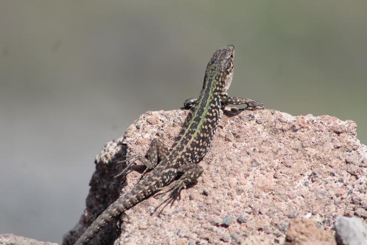 Italian lizard by NeidalRuekk