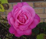 (Pink) Rosa.