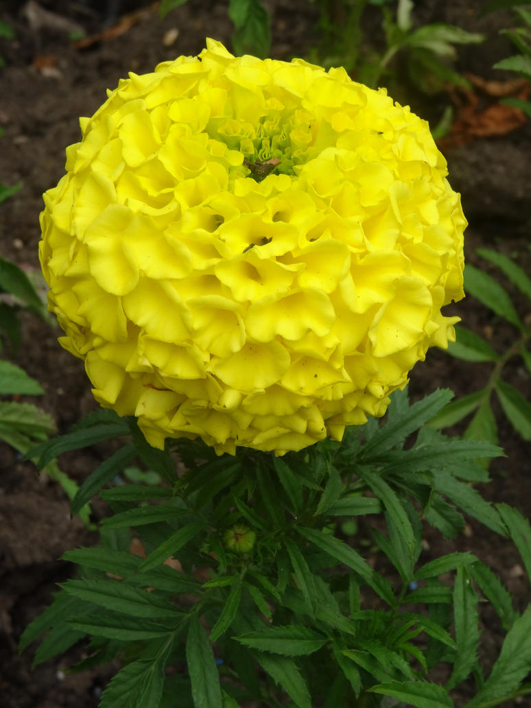 Yellow tagetes erecta mexican marigold flower by lacrimosa yellow tagetes erecta mexican marigold flower by lacrimosa angelus mightylinksfo