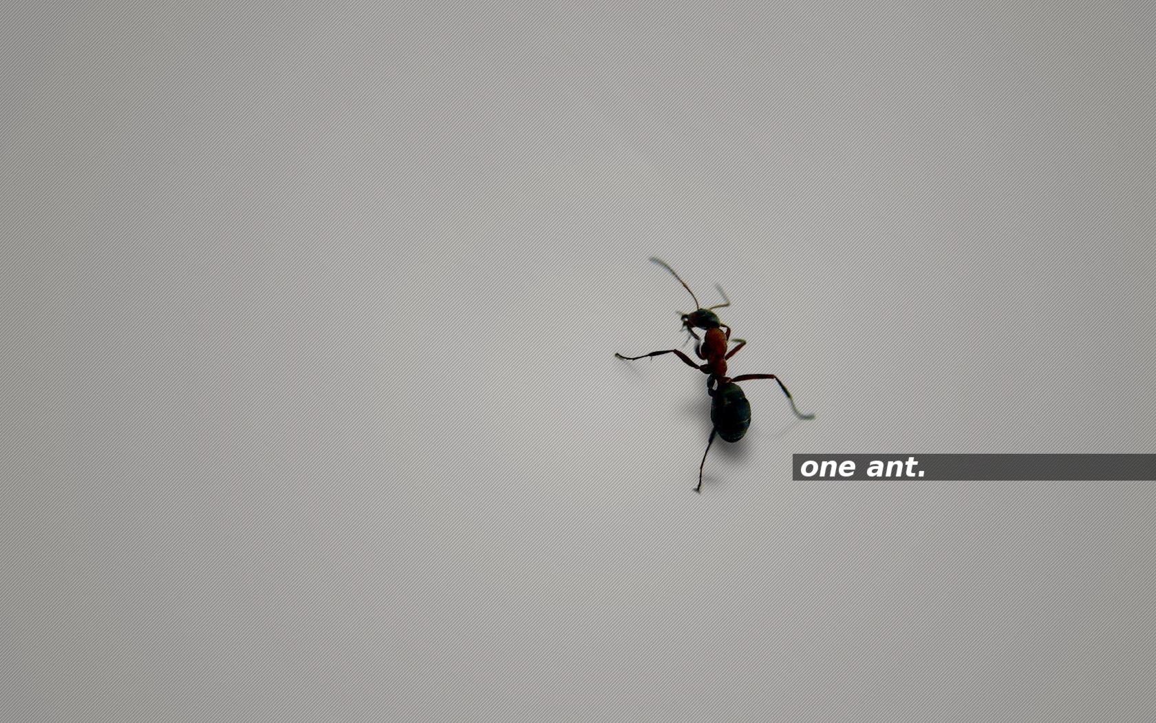 one ant. grey