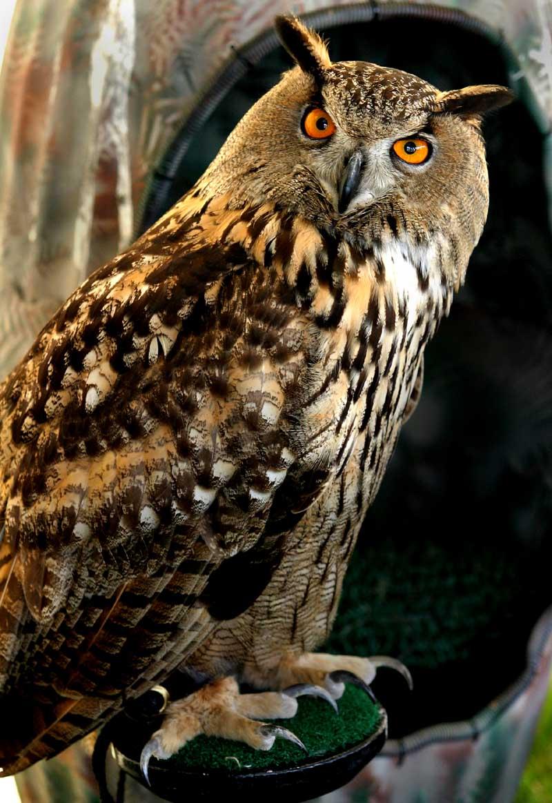 Owl by FergieFoto