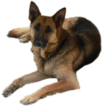 German Shepherd Precut