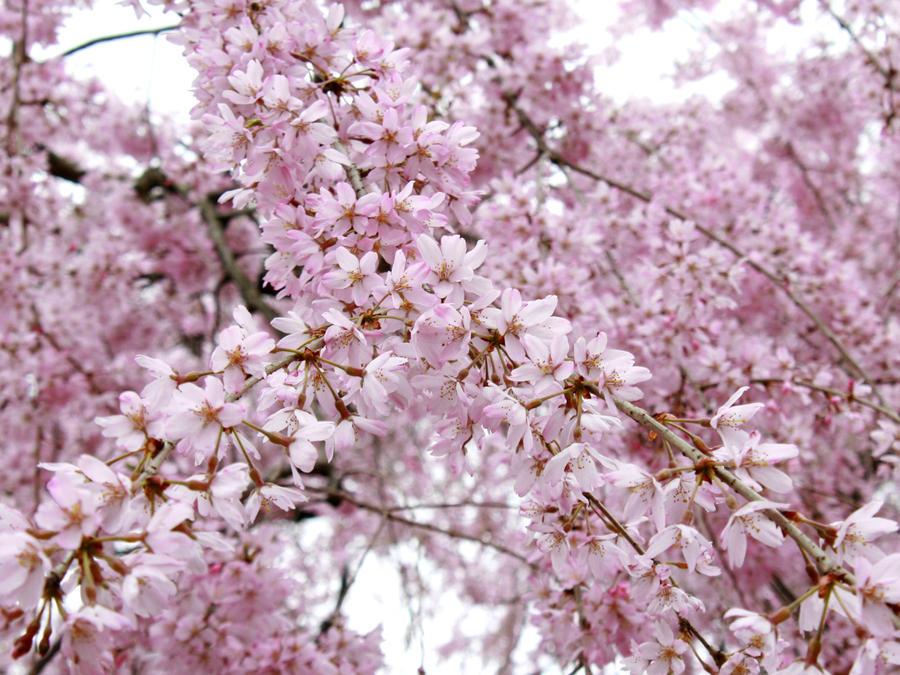 SAKURA JAPAN cherry blossoms by hirolu