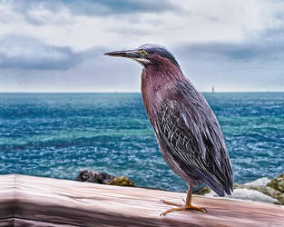 Key West Green Heron by RMLstudios