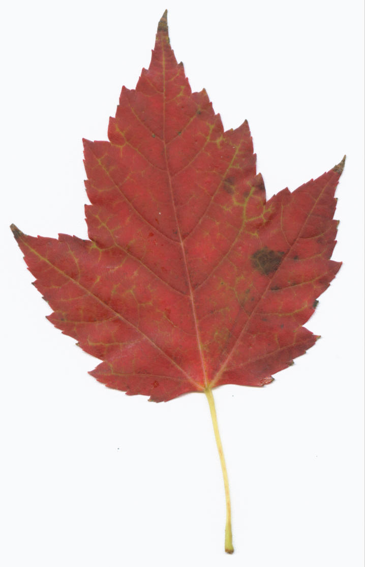 Maple Leaf Pathway Beautiful: Red Maple Leaf By Tash11-stock On DeviantArt