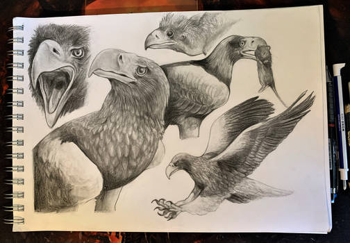 Eagle Sketches