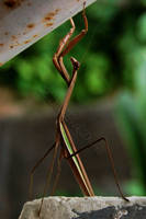 Preaching Mantis by amorousdino