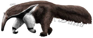 Giant anteater study