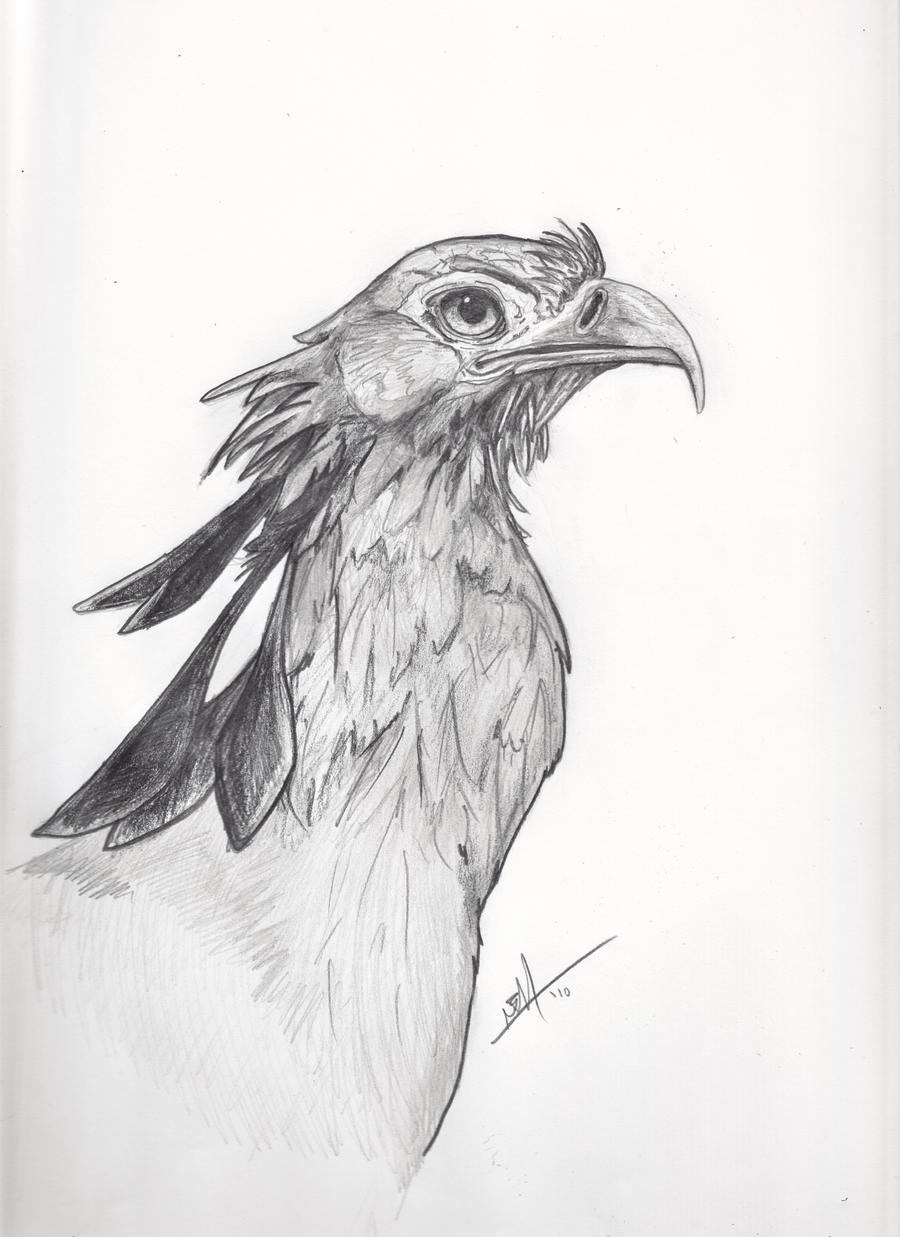Secretary bird drawing by ned no d