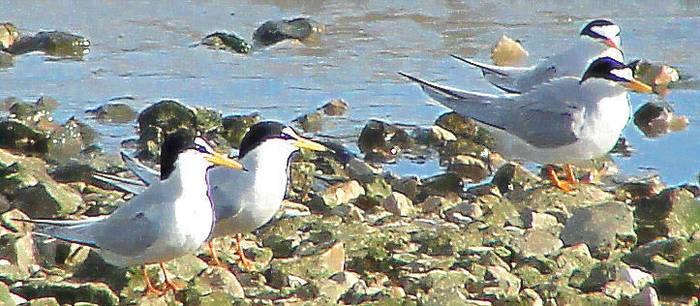 terns on stones