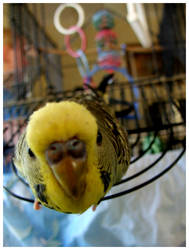 Curious budgie by scopezor