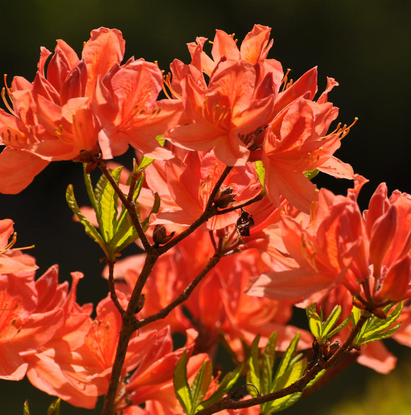 orange azalea at Asticou by BlueSolitaire