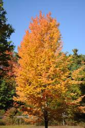 Maple Torch