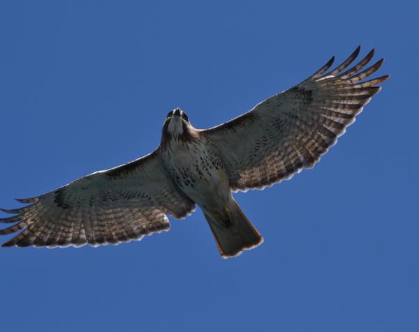 Redtail Fly-Over by BlueSolitaire