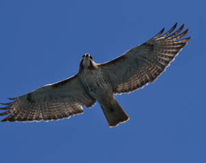 Redtail Fly-Over