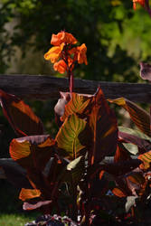 Canna Lily In Morning Sun