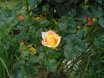 rose4 by AsleepAtDawn