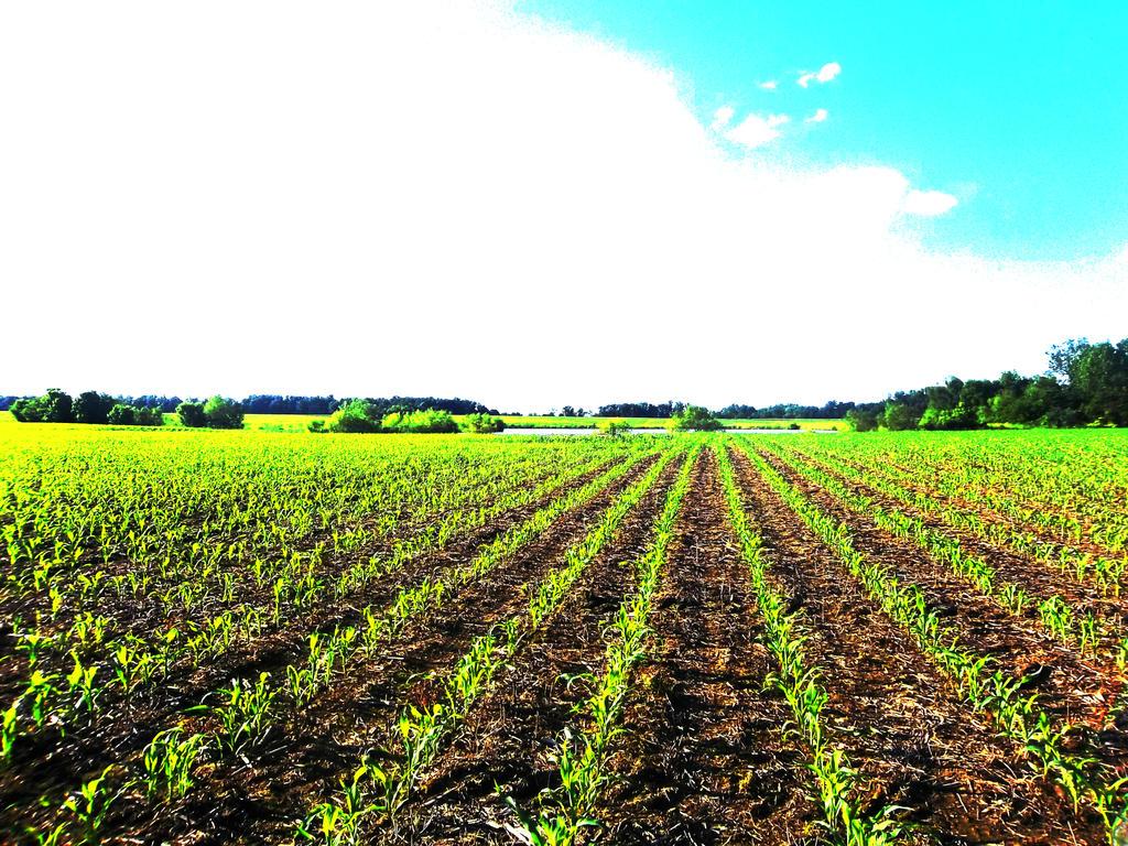 Corn Field _ 1 by M-Kelley