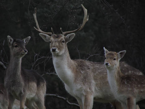 Deer, Stag and Calf