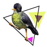 Spotted Nightingale Thrush