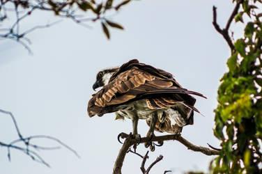 Osprey by Freeformedto