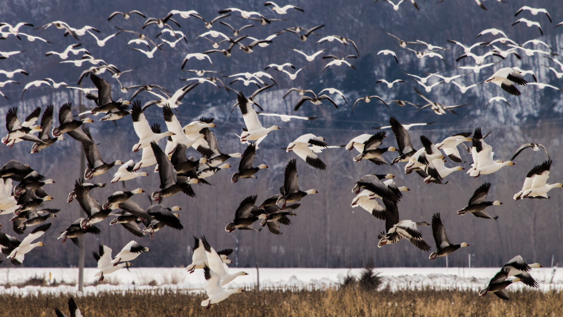 Snow Geese by PompatusOfLove