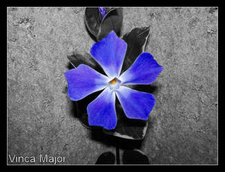 vinca major by Its-Only-Art